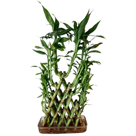 buy pyramid bamboo plant same day delivery in kanpur